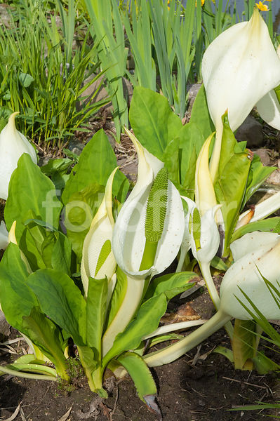 Lysichiton camtschatcensis, lysichitonblanc