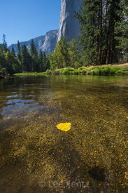 Cottonwood Leaf Floating on Merced River in Yosemite National Park