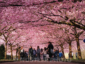 The no 1 Sakura street in Copenhagen