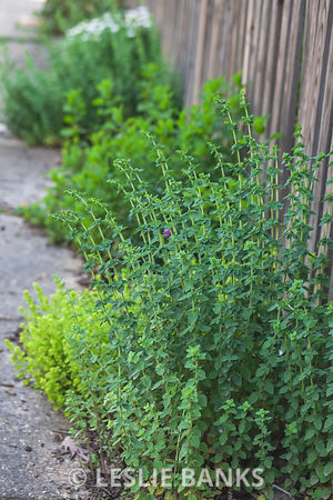 Oregano in a Spring Garden