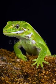 Jewelled gecko (Naultinus gemmeus)