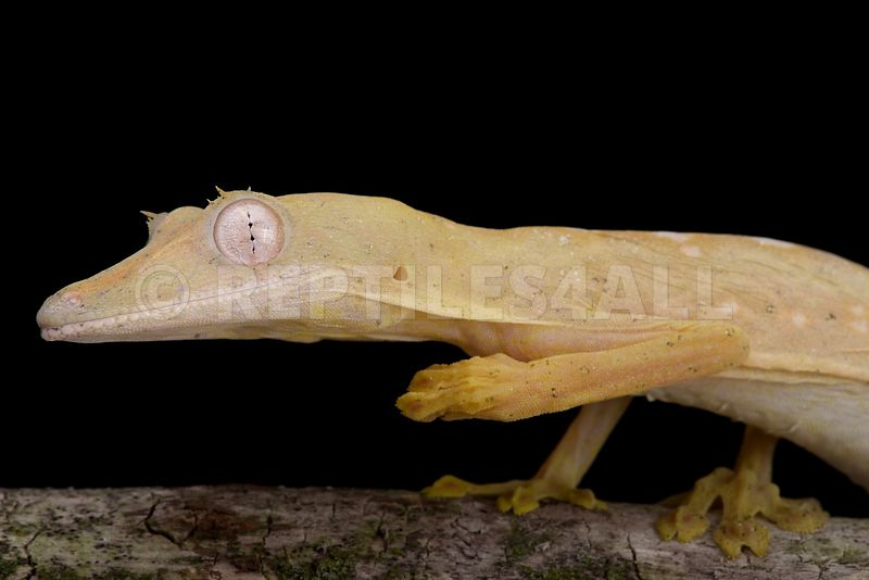Lined flat-tailed gecko (Uroplatus lineatus)