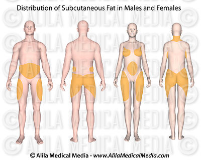Subcutaneous fat distribution in human