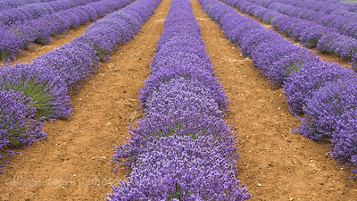 English lavender