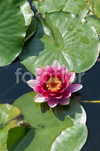 Nymphaea 'Conqueror', nénuphar, rose rouge