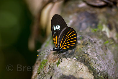 Unidentified butterfly in forest along the Tambopata River, Peruvian Amazon