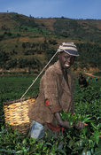 Tea picker in a tea plantation, Byumba, Rwanda