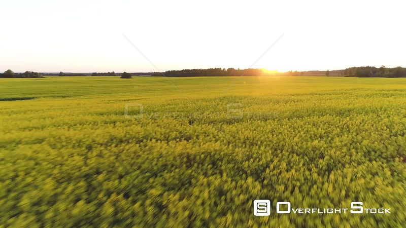 Aerial drone shot flying fast and low over a rapeseed field into the sunset