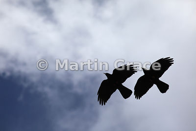 Two Alpine or Yellow-Billed Choughs (Pyrrhocorax graculus) flying in formation, Picos de Europa, Cantabria, Spain