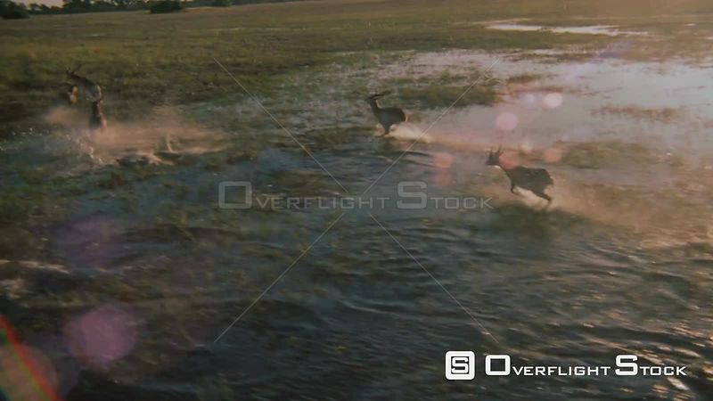 Slow motion aerial wide angle shot herd of antelope running and jumping through flooded plains Okavango Delta Zimbabwe
