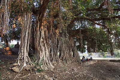 Enormous fig tree at Ajaypal, Rajasthan, India. This is the single largest tree within 20 kilometers of Pushkar, with a crown...