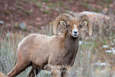 Big horn sheep near Ouray