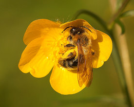 Andrena nitida, female on Ranunculus species