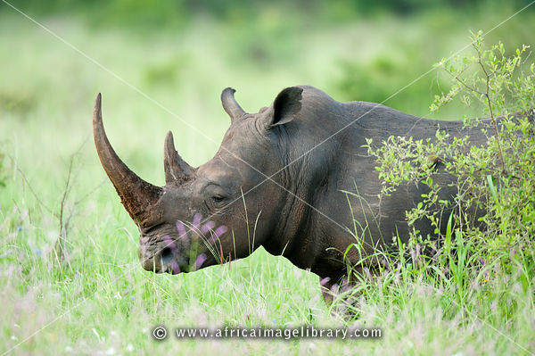White rhinoceros (Ceratotherium simum) in the rhino sanctuary, Meru National Park, Kenya