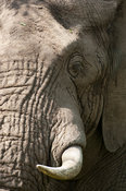 African elephant ( Loxodonta africana africana), MalaMala Game Reserve, Greater Kruger National Park, South Africa
