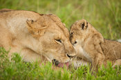 Lioness with cub (Panthero leo), Serengeti National Park, Tanzania
