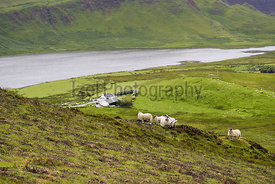 Sheep feeding on the green pastures on a remote farm near Dunvegan on the Isle of Skye, Scotland, UK.