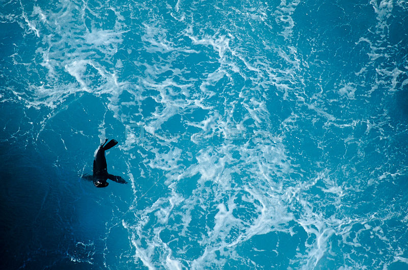 Guadalupe fur seal (Arctocephalus townsendi) viewed from above, in the surf, Guadalupe Island Biosphere Reserve, off the coas...