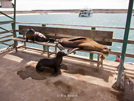 A group of sea lions rest on a bench in Santa Cruz.
