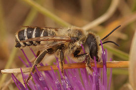 Megachile species, male at Rousson, Cevennes , France