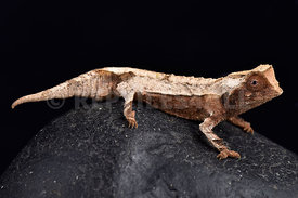 Decary's Leaf Chameleon, Brookesia decaryi