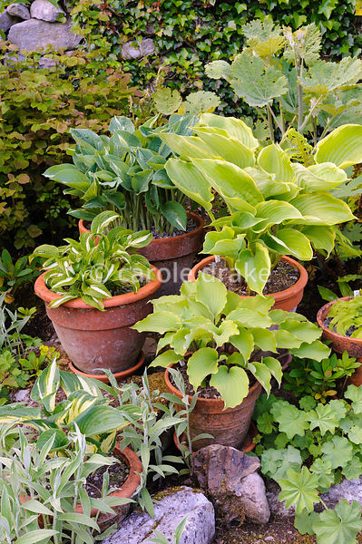Hostas and a plume poppy in terracotta pots. Caher Bridge Garden, Fanore, Ireland