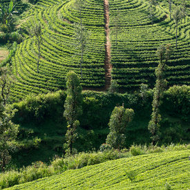 Tea estates,