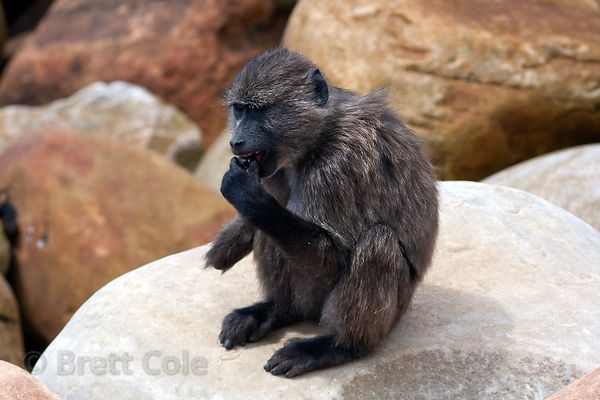 (Note the missing hand) Chacma baboons from the Smitswinkel troop eat shellfish along the coast near Miller's Point. Cape Bab...