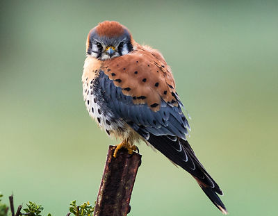Posing Male Kestrel