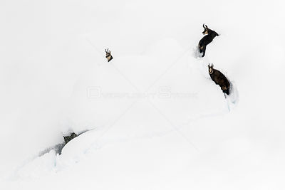 Chamois (Rupicapra rupicapra) in deep snow, Gran Paradiso National Park, Italy. November. Commended in the Asferico Photograp...