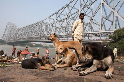 Stray dogs at Armenian Ghat in Kolkata, India, with Howrah Bridge and the Hooghly River in the background.