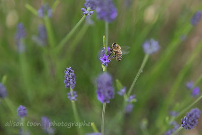 Honey bee or honeybee in lavender