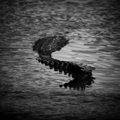 Queue de crocodile flottant sur la rivière, Kenya 2013 © Laurent Baheux