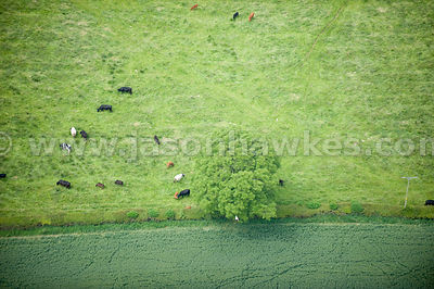 Cows in field near Brompton, North Yorkshire