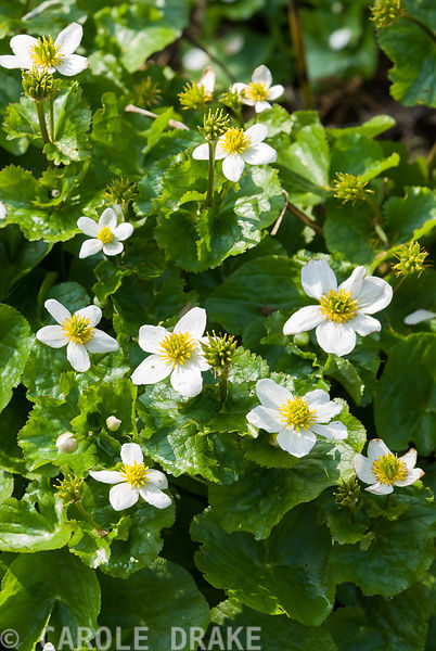 Caltha palustris var alba. Marwood Hill Gardens, Barnstaple, Devon, UK