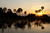 Borassus palms (Palmyra palm) along the Shire river at sunset, Liwonde National Park, Malawi