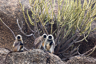 Langur monkeys on large desert boulders in the Aravali mountains, Ajaypal, Rajasthan, India