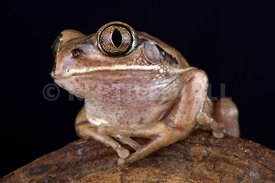 Mozambique tree frog (Leptopelis mossambicus)