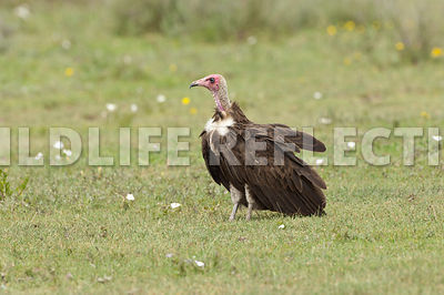 Lappet-Faced Vulture Single
