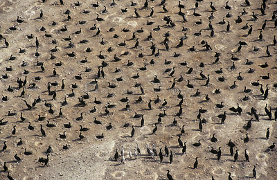 Socotra cormorant (Phalacrocorax nigrogularis) colony on a beach at Hawar Island, Bahrain