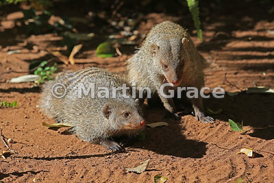 Younger Banded Mongoose (Mungos mungo) that came to sit with the old one, seemingly just to give it company, Chobe Marina Lod...