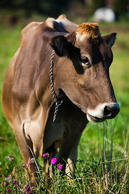 Lovely cow on a farm in Amish country, Lancaster, Pennsylvania