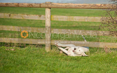A Quorn hound struggles to get underneath a fence
