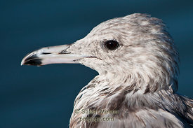 California Gull, San Jose, CA, USA