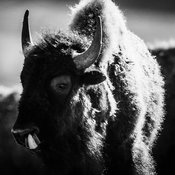 4522-Bison_du_Yellowstone_Wyoming_2014_Laurent_Baheux