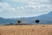 Ostrich farm at the base of the Swartberg mountains, Oudtshoorn, South Africa