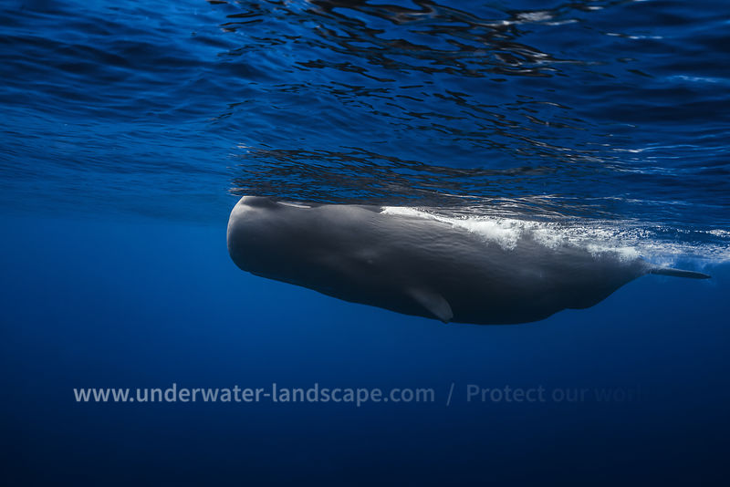 Sperm whale underwater photography