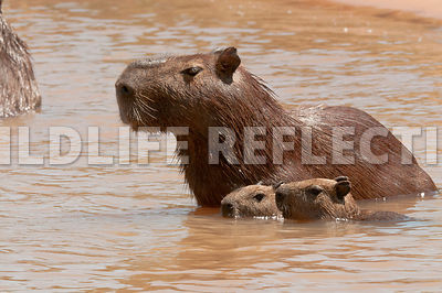 capybara_mother_cubs_swimming-03