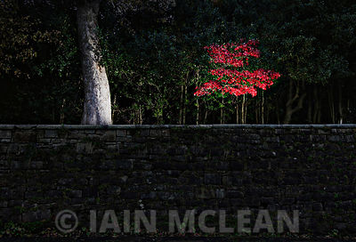 2010/11.Leaves in Pollok Park, Glasgow...Picture Copyright:.Iain McLean,.79 Earlspark Avenue,.Glasgow.G43 2HE.07901 604 365.p...