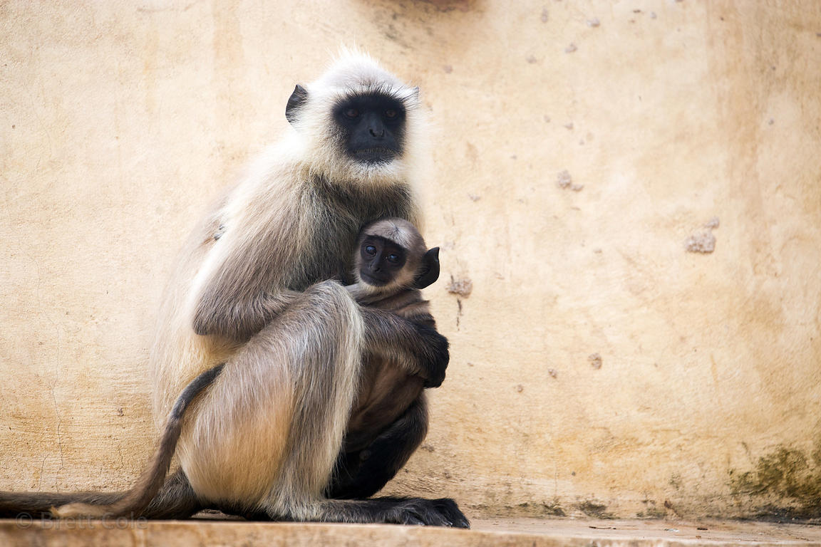 Langur monkey mother and baby at the Ajaypal Shiva Temple, Rajasthan, India